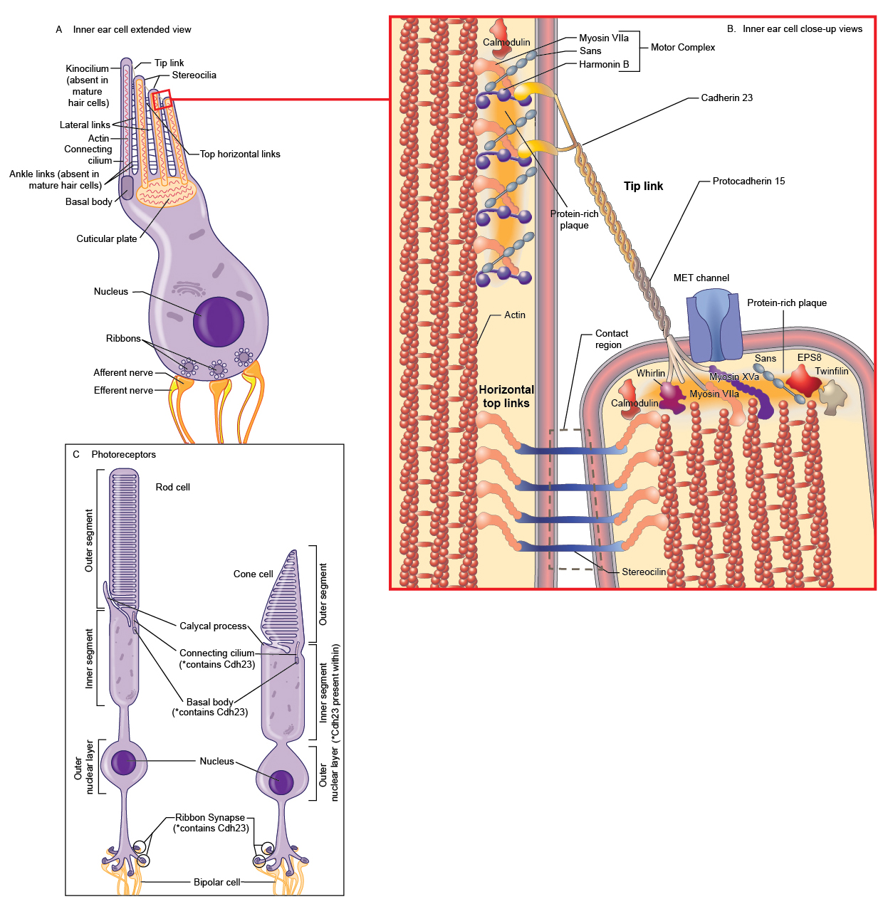Mouse eye anatomy 9391715 - togelmaya.info